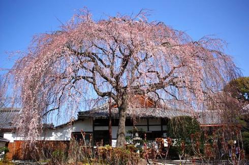 開花が遅かった年の本満寺のしだれ桜